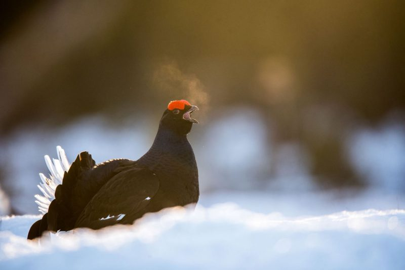 Black Grouse in snow