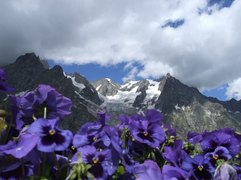 Flowers bloom during spring with a view of Vallone Malatra in the background in the Alps, Italy.